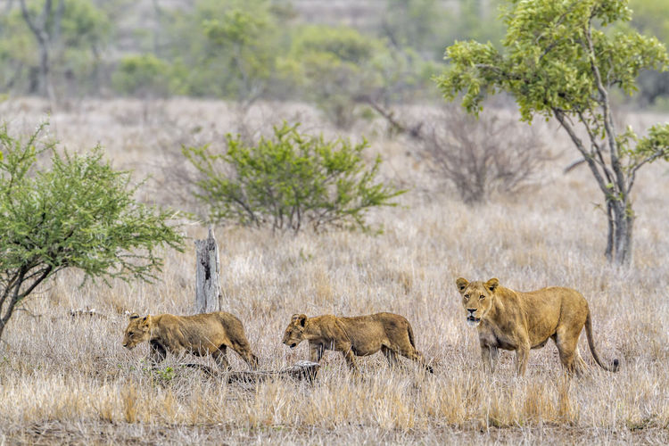 Full length of lions walking at forest