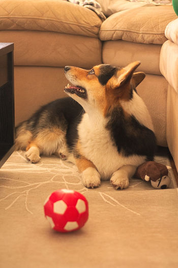 Dog by toys at home