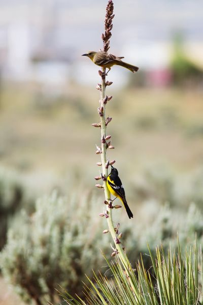 Scott's Orioles male and female Oriole Scott's Oriole Bird Photography Desert Life Utah Yucca Yucca Plant Bird Perching Animal Themes