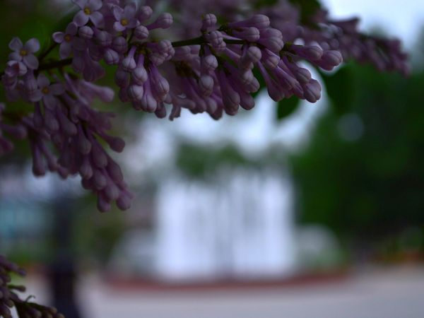 Lilac Flower Beauty In Nature Close-up Day Flower Focus On Foreground Fragility Freshness Growth Nature No People Outdoors Plant