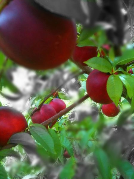 Nectarines Nectarines