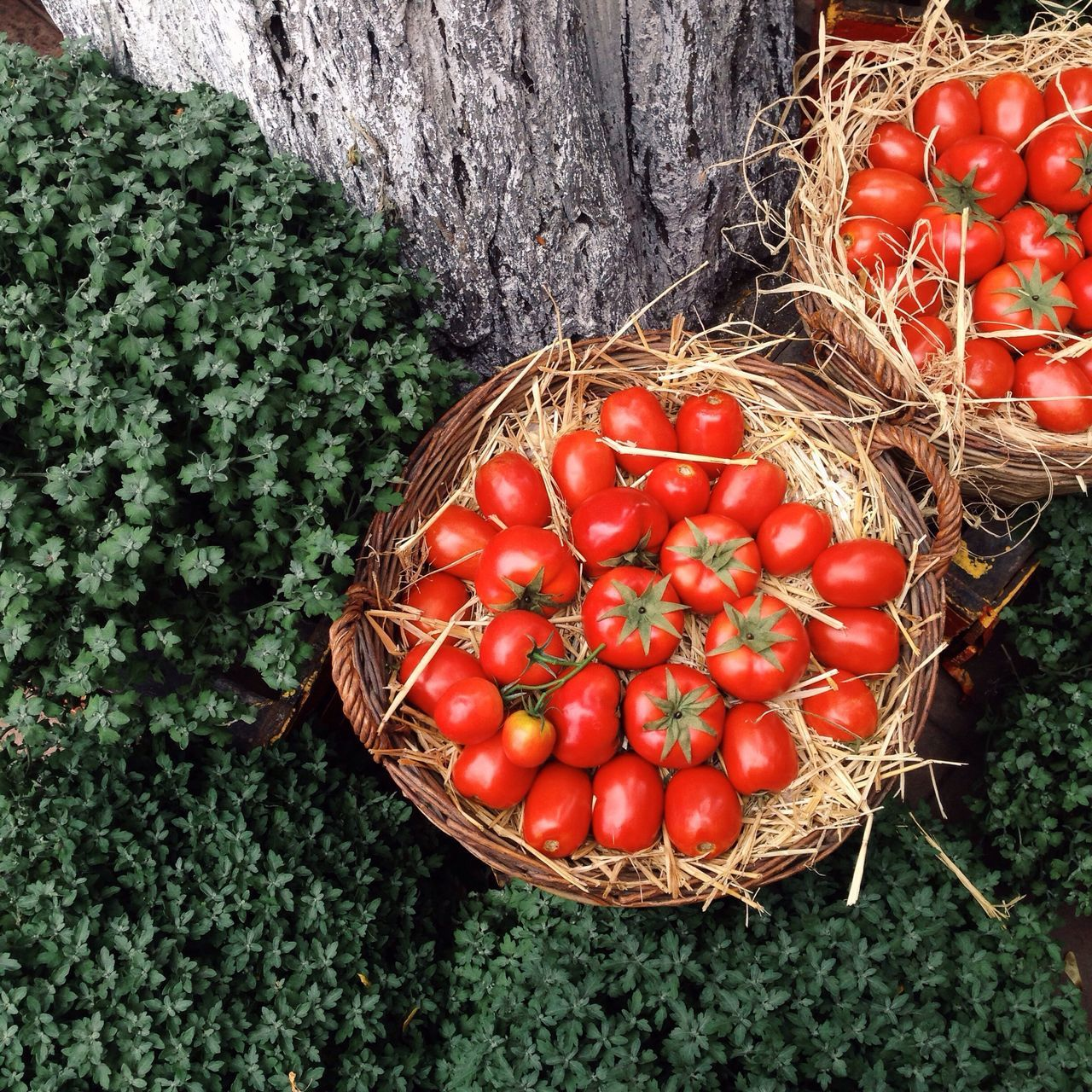 red, tomato, basket, high angle view, vegetable, food and drink, food, healthy eating, freshness, directly above, no people, day, green color, outdoors, large group of objects, nature