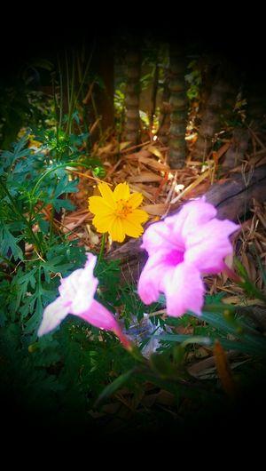Hello World MyFlowers Myhappiness💘 Yellow Flower Yellowcosmos