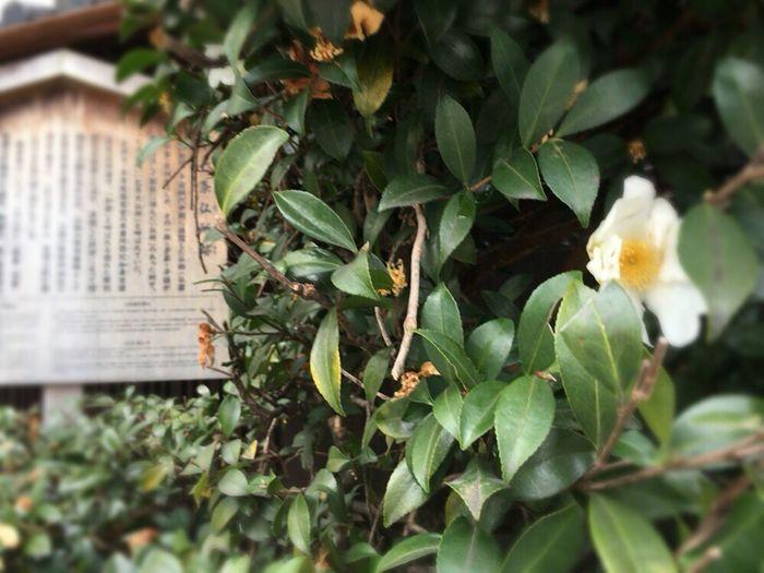 White Camellia Sasanqua Kyoto Street Kyoto,japan Kyoto Street Flower