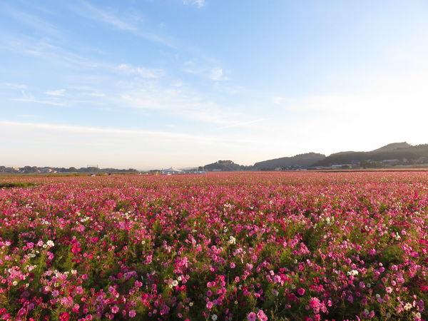 Flowers Sky 益子コスモス祭り
