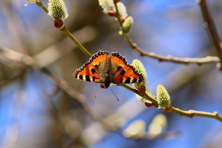 Butterfly Aglais Butterfly Aglais Urticae Nymphalis Urticae Butterfly - Insect Butterfly ❤ Butterfly Animal Wildlife Animal Insect Animal Themes Animals In The Wild Invertebrate One Animal Focus On Foreground Beauty In Nature No People Nature Day Tree Outdoors