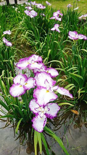 【Osaka,Japan】lris garden 菖蒲園 城北公園 Happy Japan Early Summer June Shirokita Park Osaka Osaka City Flag Fleur-de-lis Lris Sword Lily Lris Garden Beautiful Purple Flower