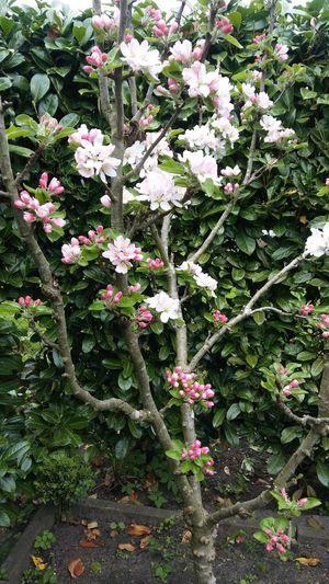 Flower Garden Spring Botany Apple Blossom
