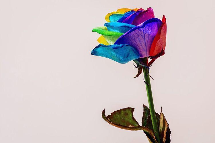 One Rainbow Rose Green Purple Yellow Blue Red Rainbow Colors Colorful Colors Rose - Flower Flower 100mm Macro PENTAX K-70