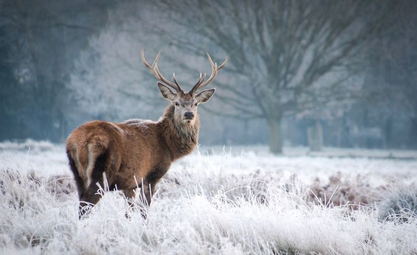 Deer On Snow Covered Field
