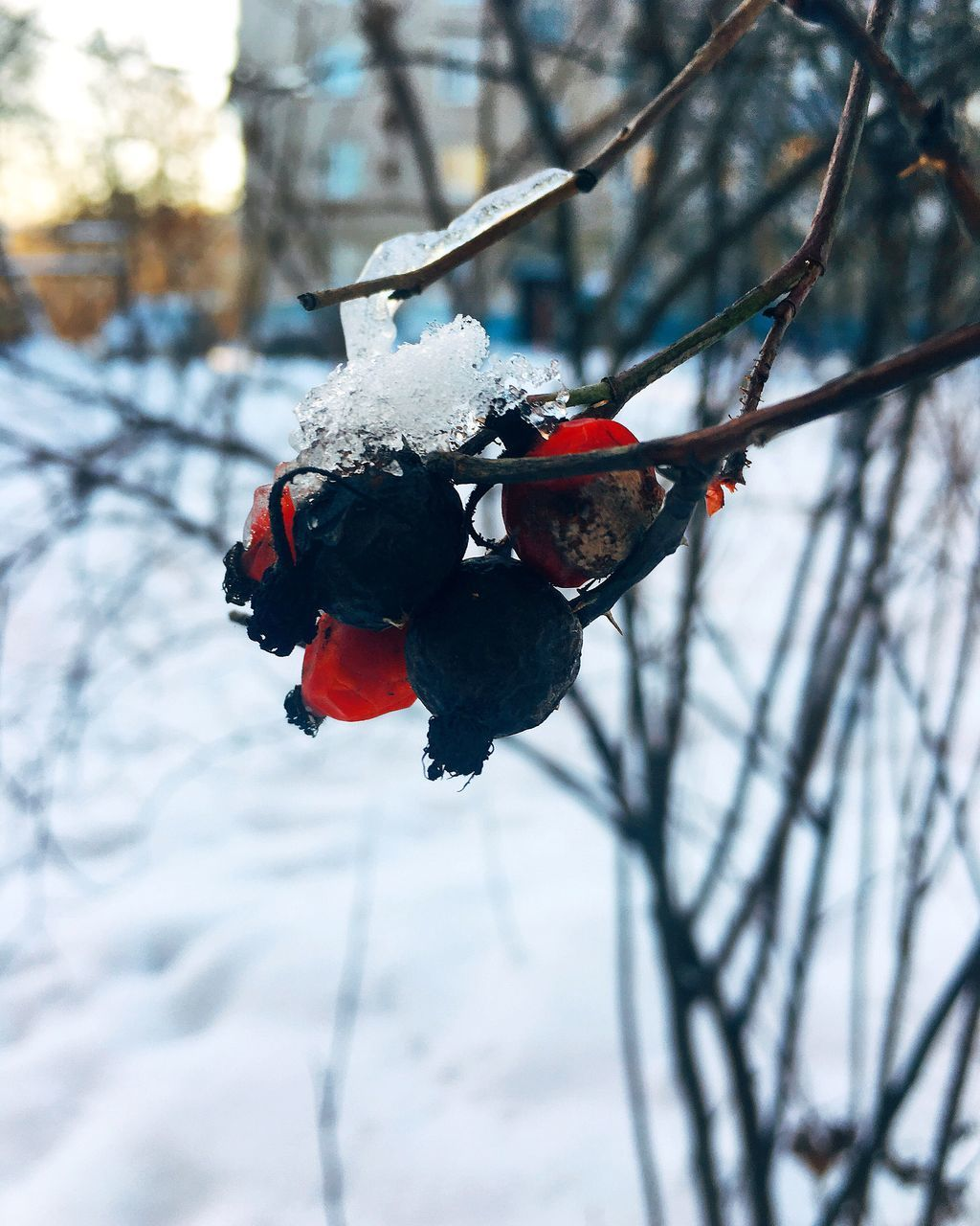 winter, snow, cold temperature, tree, plant, focus on foreground, nature, close-up, branch, no people, frozen, day, fruit, berry fruit, healthy eating, food, food and drink, beauty in nature, twig, outdoors