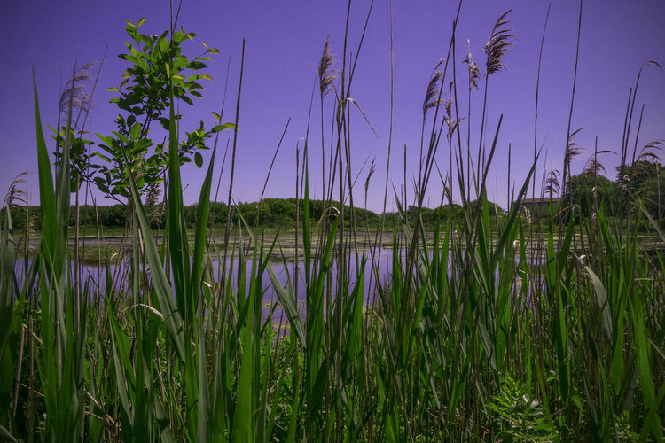 Rachel Carson Reserve, Maine, USA Beauty In Nature Day Flower Grass Green Color Growth Lake Nature No People Outdoors Plant Purple Flower Scenics Sky Tranquil Scene Tranquility Water