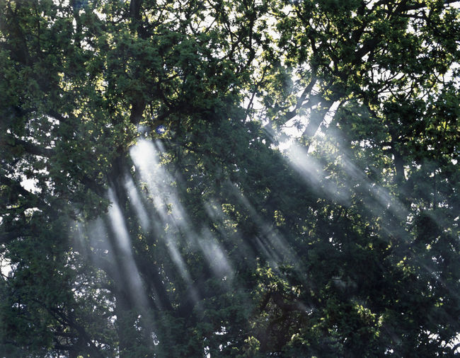 light shining through misty trees Abstract Beams Beauty In Nature Canopy Forest Green Color Growth Leaf Leaves Light Lightbeam Low Angle View Lush Foliage Mist Nature Shaft Shining Smoke Tranquil Scene Tree Trees
