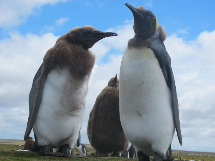 Close-up of penguins standing on field against sky