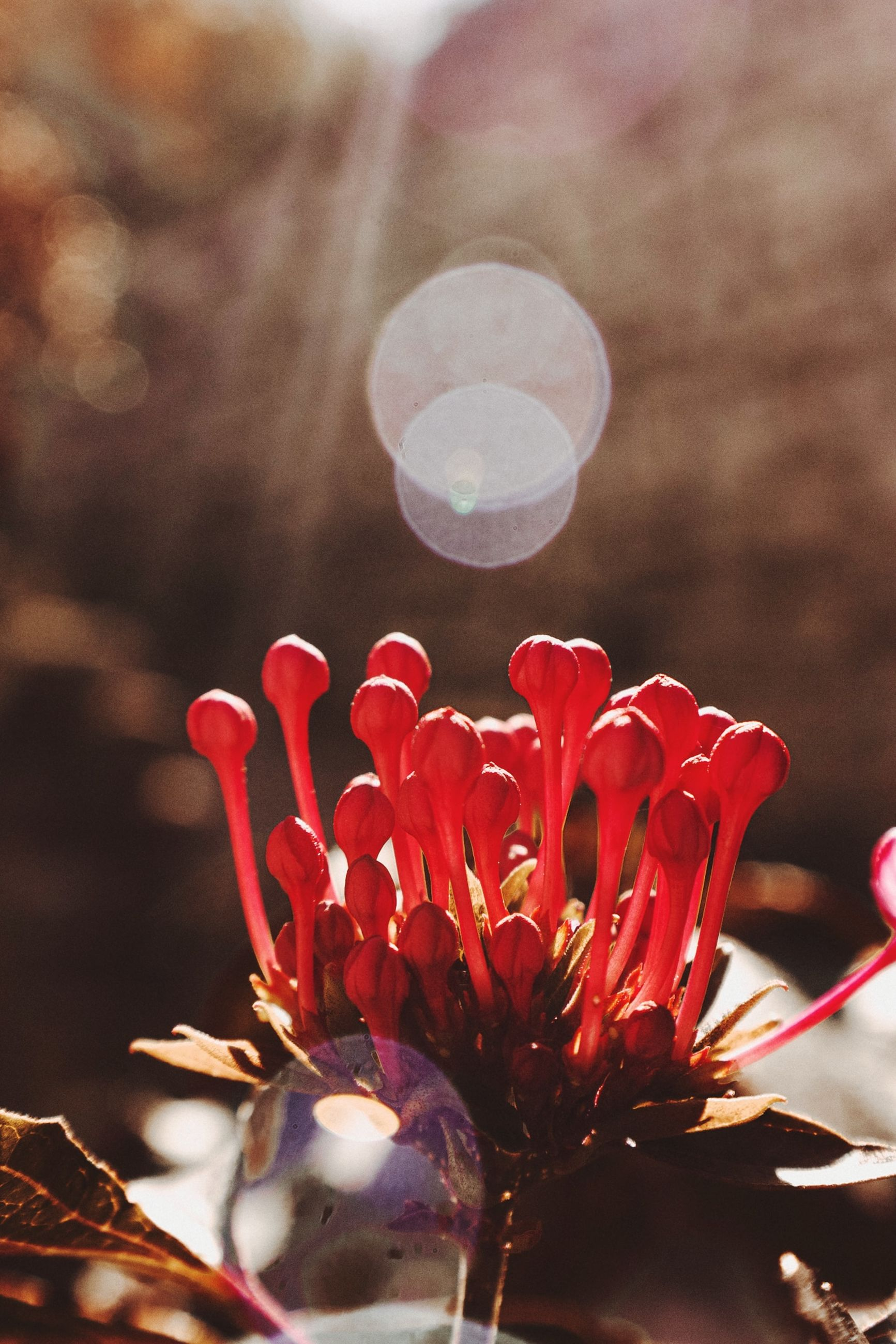 flower, flowering plant, plant, vulnerability, fragility, freshness, beauty in nature, close-up, red, petal, inflorescence, growth, flower head, focus on foreground, nature, no people, lens flare, selective focus, outdoors, day, pollen