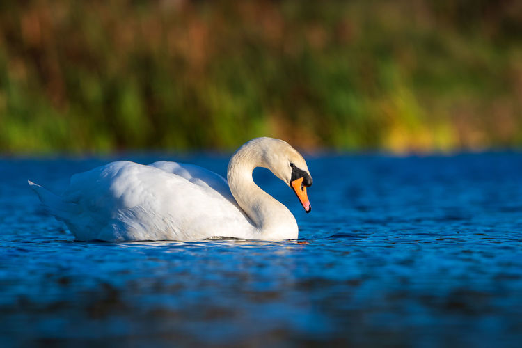 Animal Themes Animal Bird Vertebrate Animal Wildlife Animals In The Wild One Animal Swan Water Lake Swimming Selective Focus Water Bird White Color Day Nature Waterfront No People Close-up Floating On Water Animal Neck