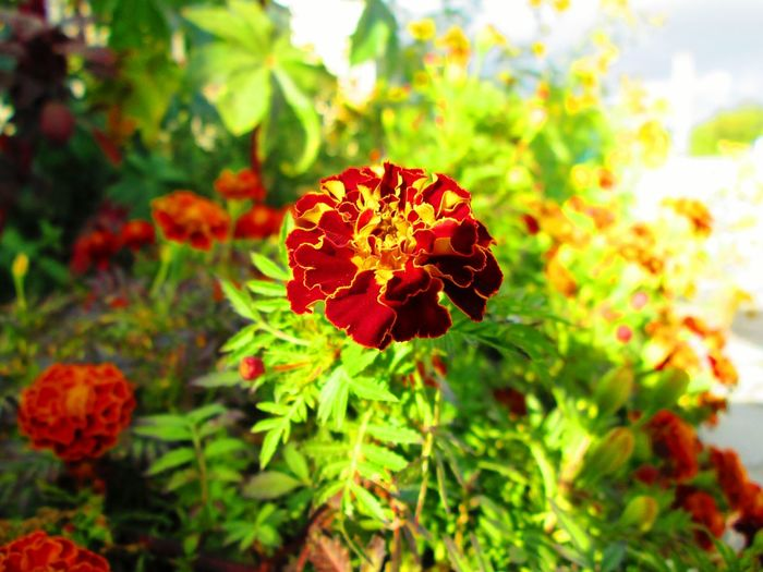 Flower Freshness Growth Red Plant Green Color Flower Head Beauty In Nature Nature Botany Springtime
