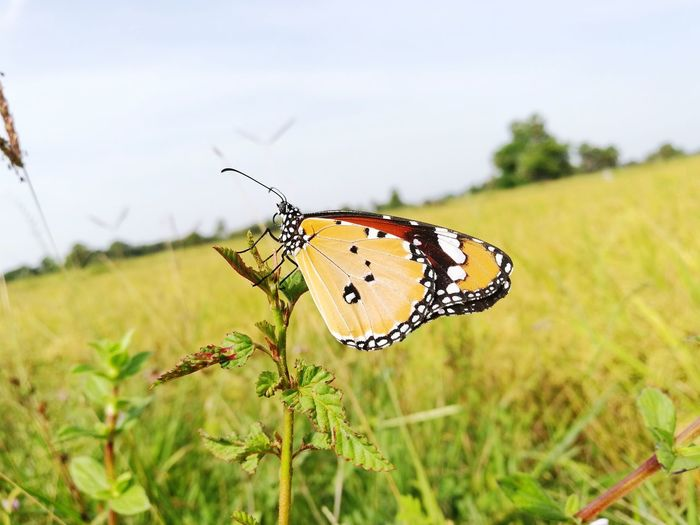 Close-up of butterfly perching on plant in field