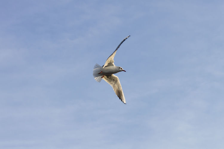 Bird Flying Blue Mid-air Sky Spread Wings Flapping Flight Animal Wing Seagull