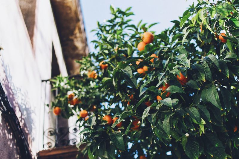 Low angle view of orange tree by building