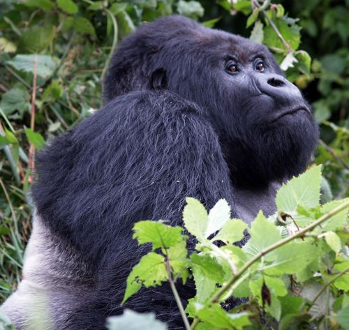 Mountain gorilla, Rwanda Mountain Gorilla Animal Themes Animal Wildlife Animals In The Wild Close-up Day Gorilla Mammal Nature No People Outdoors Silverback Gorilla