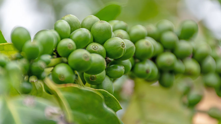 Agriculture Arabica Arabica Coffee ASIA Background Bean Beans Berries Berry Beverage Branch Bush Caffeine Closeup Coffea Coffea Arabica Coffee Composition Crop  depth of field Drink Farm Farming Food Fresh Fruit Green Grow Growth Harvest Industry Leaf Nature Organic Photography Plant Plantation Raw Raw Coffee Red Ripe Robusta Technique Thailand Tree Tropical Unripe Using Green Color Food And Drink Healthy Eating Freshness Close-up Selective Focus No People Day Plant Part Wellbeing Beauty In Nature Focus On Foreground Outdoors Abundance
