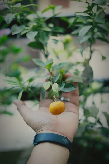Close-up of hand holding fruit