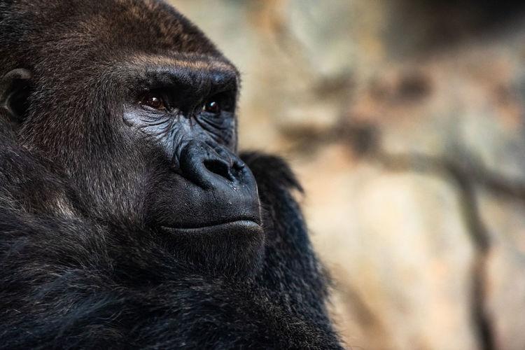 Close-up of gorilla looking away