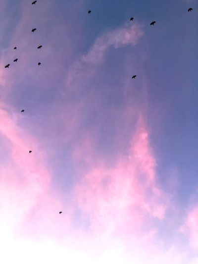Sky Cloud - Sky Vertebrate Flying Bird Pink Color Group Of Animals Animal Themes Low Angle View Animal Wildlife Animal Large Group Of Animals Mid-air Flock Of Birds Purple Nature Animals In The Wild Capture Tomorrow