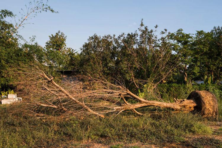 Dead big tree