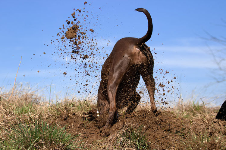 Dog Digging Hole On Field