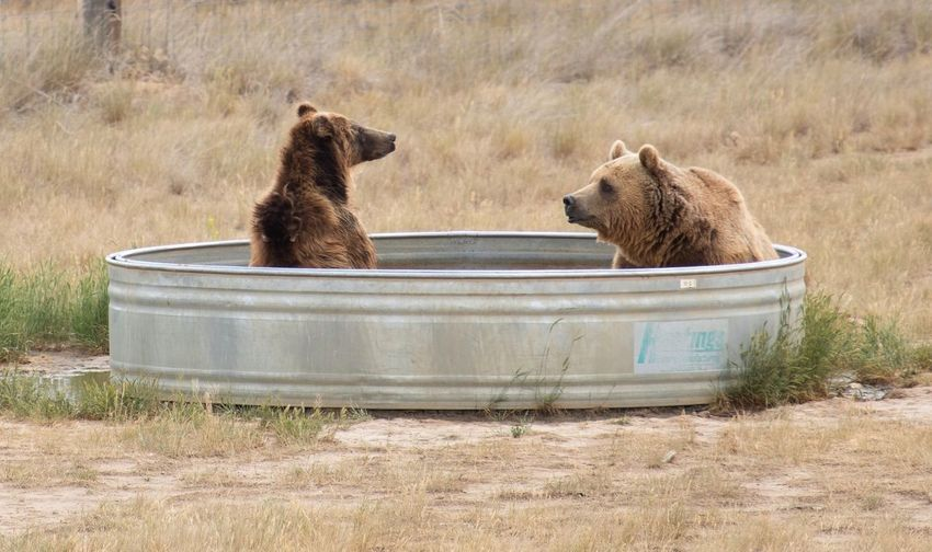 Please pass the soap. EyeEm Selects Animal Mammal Animal Themes Animal Wildlife Animals In The Wild Group Of Animals Bear Two Animals Grizzly Bear Animal Family Togetherness Brown