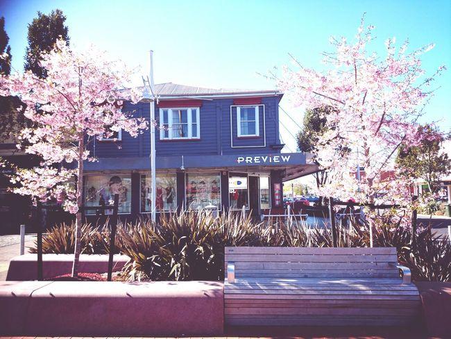 Blossoming. Spring Blossom Cherry Blossoms Blossoms
