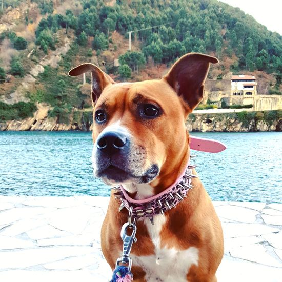 Dog Pets Water Portrait Tree Nature Outdoors Loveit Lifestyles Looking At Camera Pitbull Americanstaffordshire Exploring Mypet Close-up Eyes Are Soul Reflection Day Perfect MYheart MyDarling  Pretty Dog Love Doglover Dogslife Pitbull Love