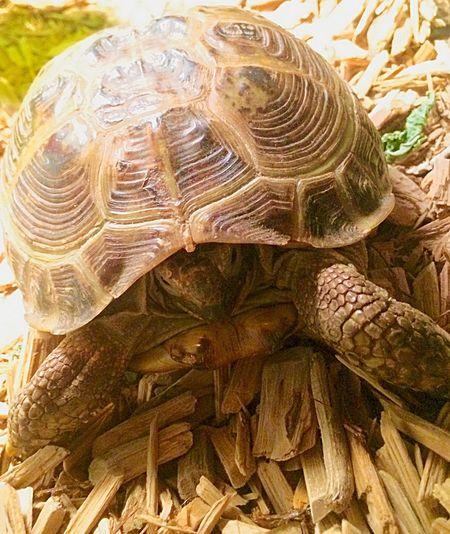 Maximum Closeness Russian Tortoise Family Pet
