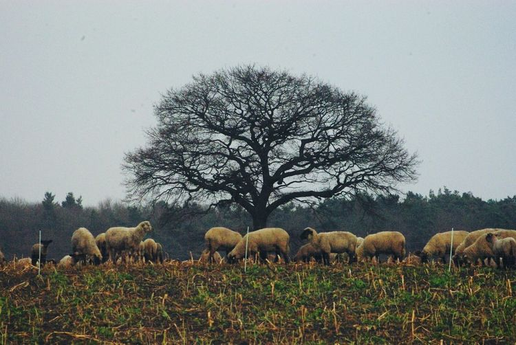 Sheep grazing on landscape against clear sky