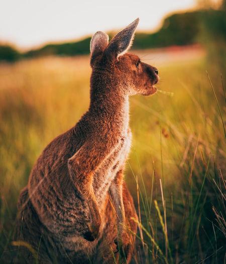Kangaroo sitting on field