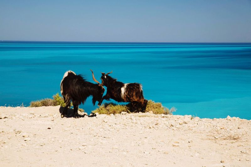 Goats On Cliff Against Blue Sea On Sunny Day