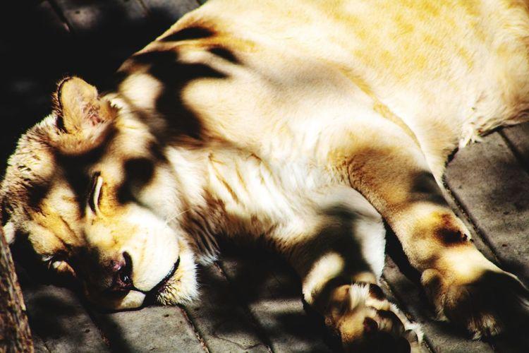 UnderSea Tiger