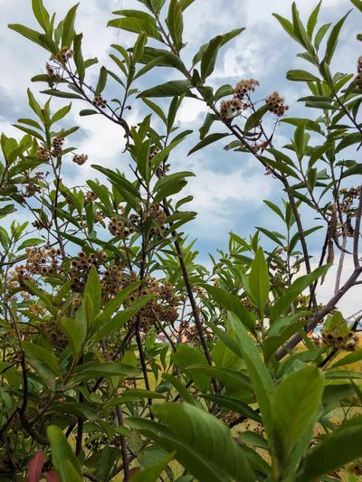 Entre los matorrales Shrubs Plant Growth Leaf Plant Part Beauty In Nature Tree Green Color Tranquility Outdoors Cloud - Sky Flower Flowering Plant Botany Branch Sky Nature