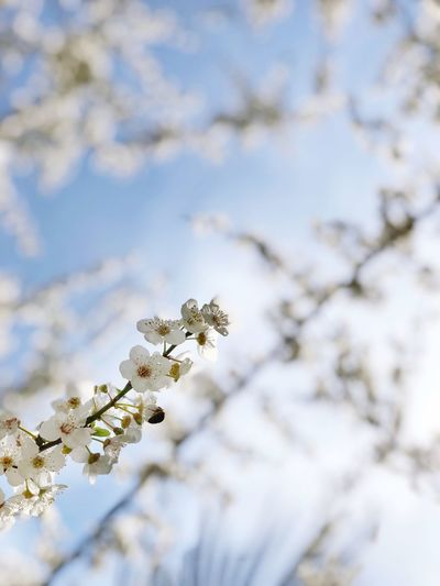 Background Apple Tree Cherry Tree Japan Sakura Blossom Flower Sakura Spring Plant Tree Flower Growth Flowering Plant Day No People White Color Nature Branch Fragility Beauty In Nature Close-up Focus On Foreground Sky