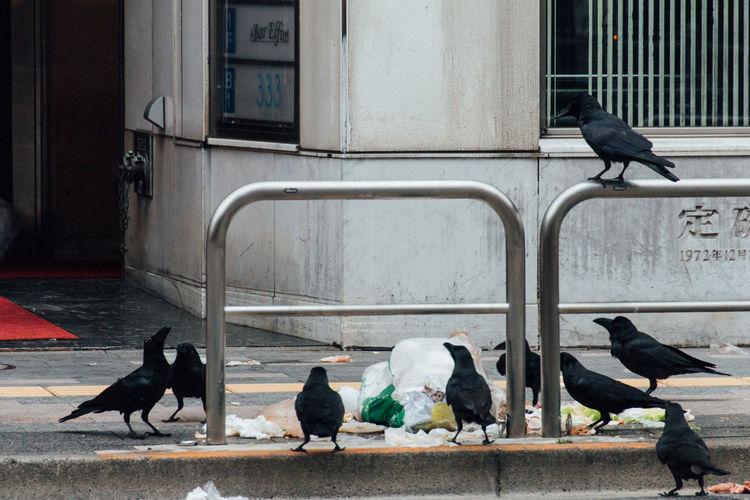 Ravens By Garbage On Sidewalk