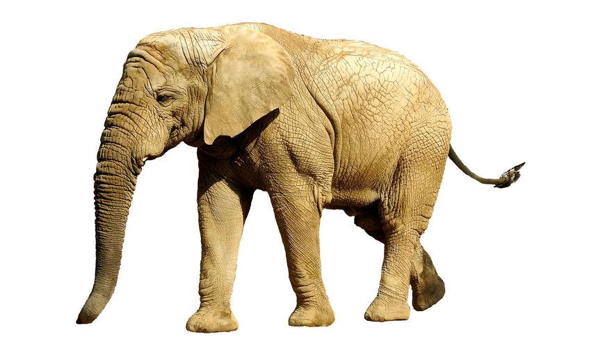Jumbo Animal Animal Body Part Animal Themes Animal Trunk Animal Wildlife Animals In The Wild Asian Elephant Big Elephant Cut Out Elefant Elephant Full Length Herbivorous Indoors  Mammal No People One Animal Side View Slon Standing Still Life Studio Shot Vertebrate White Background