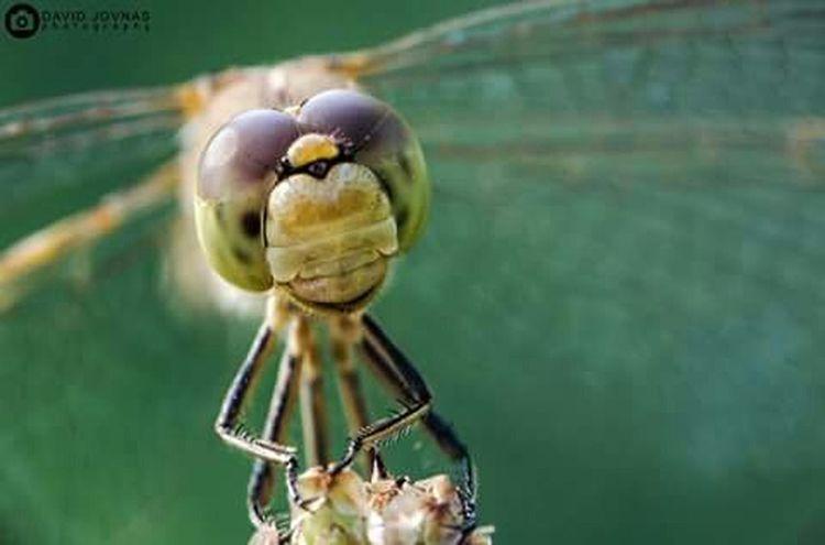 Vilin konjic Dragonfly Macro Macro Photography Macro_collection