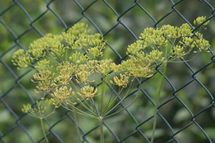 Dill Beauty In Nature Chainlink Fence Close-up Day Flower Flower Head Focus On Foreground Fragility Freshness Growth Nature No People Outdoors Plant Protection Safety