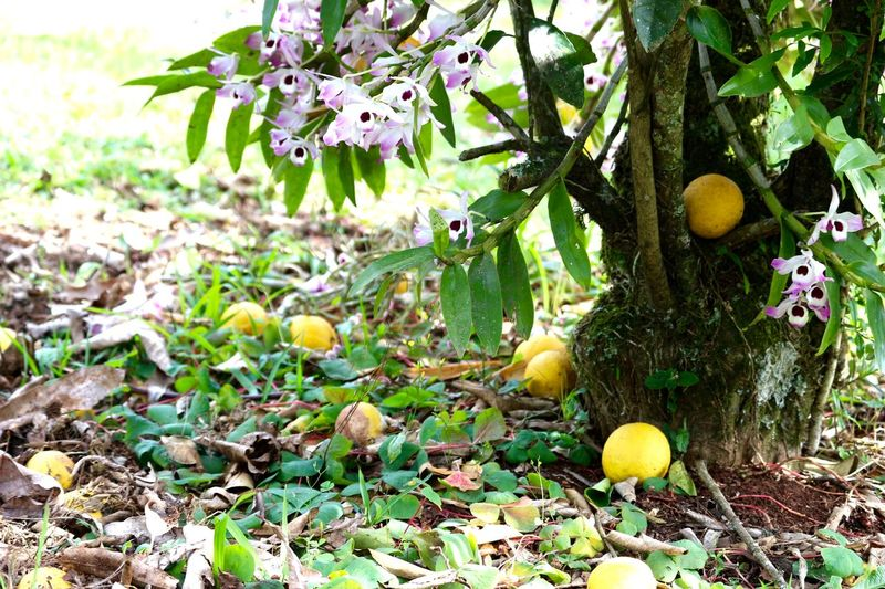 Lemon and orchids... Close Up Close-up Day Fallen Fruits Focus On Foreground Freshness Fruits ♡ Green Color Ground Leaf Lemons Nature No People Orchids Tree Trunk