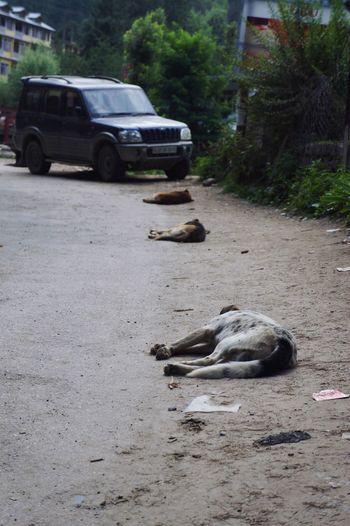 Travel Indian Trip India Manaliindia Oldmanali Summer Dog Relaxing