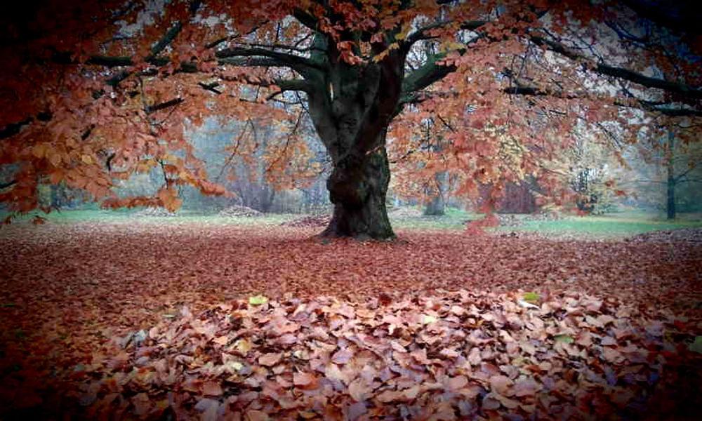 Beech Tree Autumn