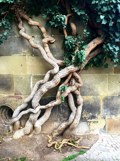 Building Architecture Rootsystem Roots Climbers Leafs Green Classical Architecture Classicalbuildings Green Mural Patina Murals City History Historical Historic Durability Epochal
