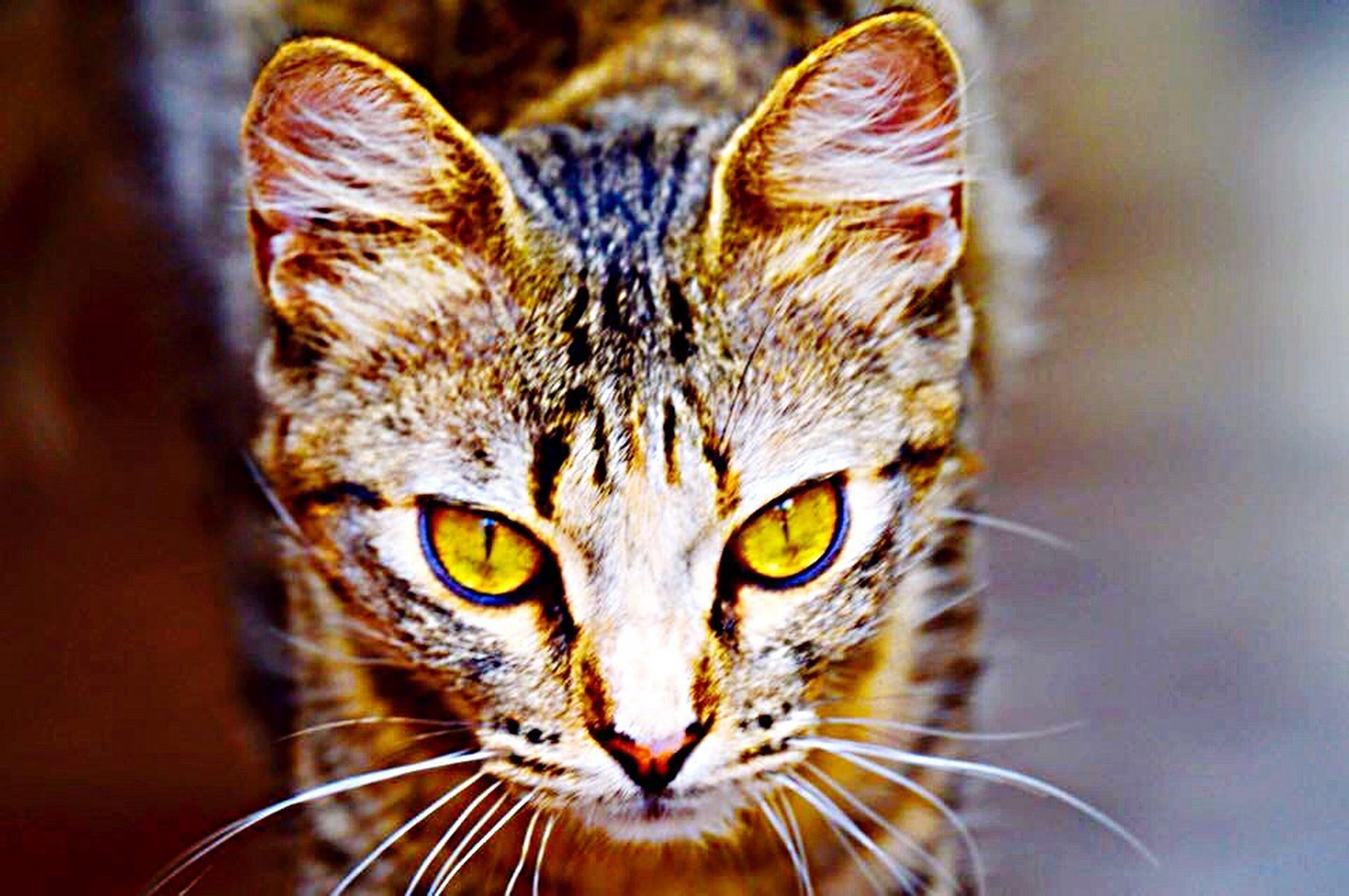 animal themes, one animal, domestic cat, cat, portrait, whisker, looking at camera, feline, animal eye, close-up, animal head, focus on foreground, animal body part, front view, staring, pets, alertness, wildlife, domestic animals, owl